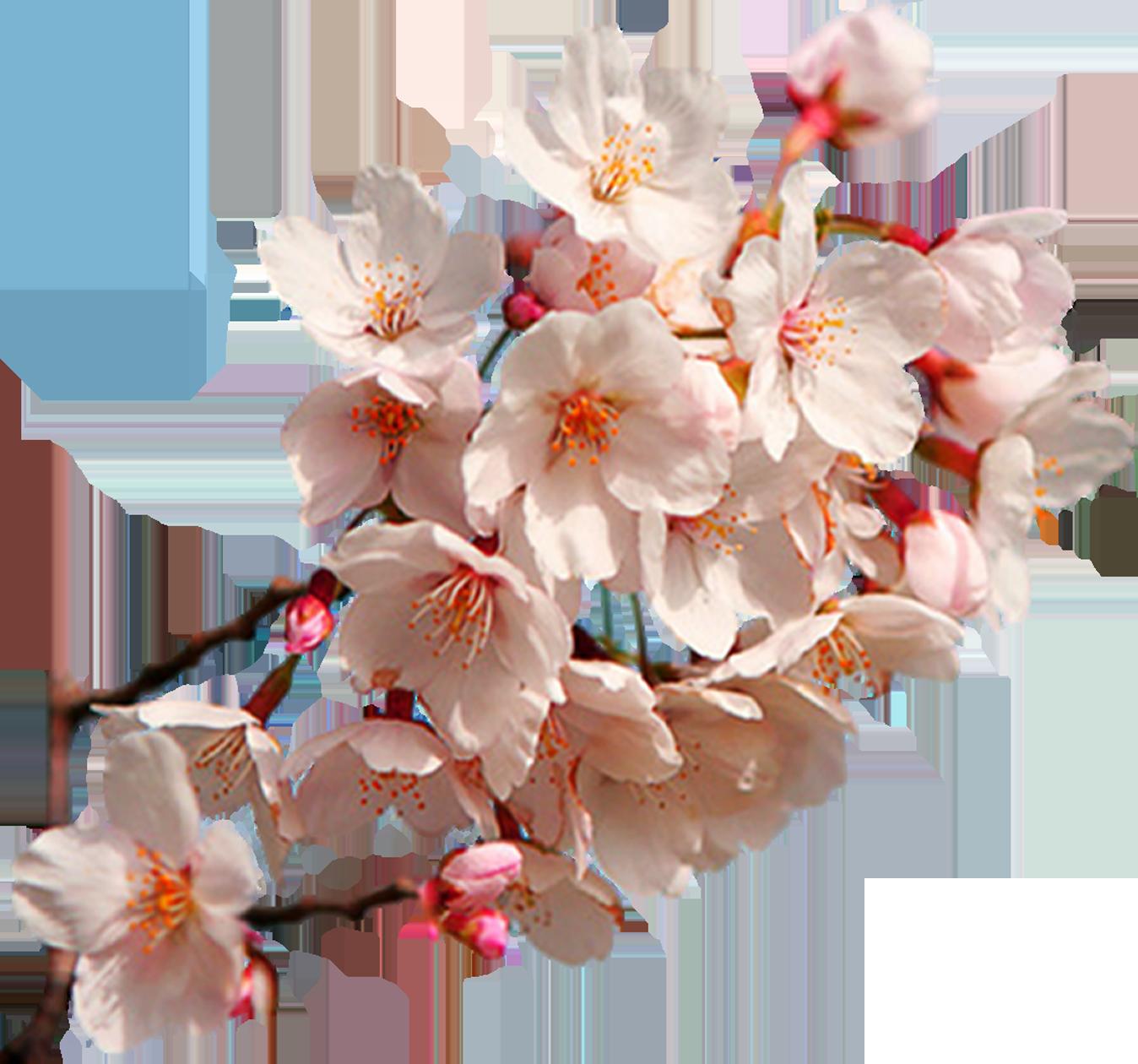 Cherry Blossom Png - East Asian Art Cherry Blossom ...