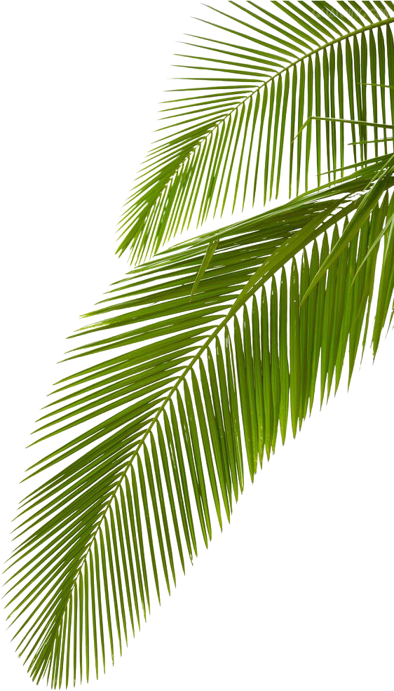 Transparent palm leaves clipart - Leaf Photography Royalty-free Arecaceae Palm Branch - Palm Tree Branch Png